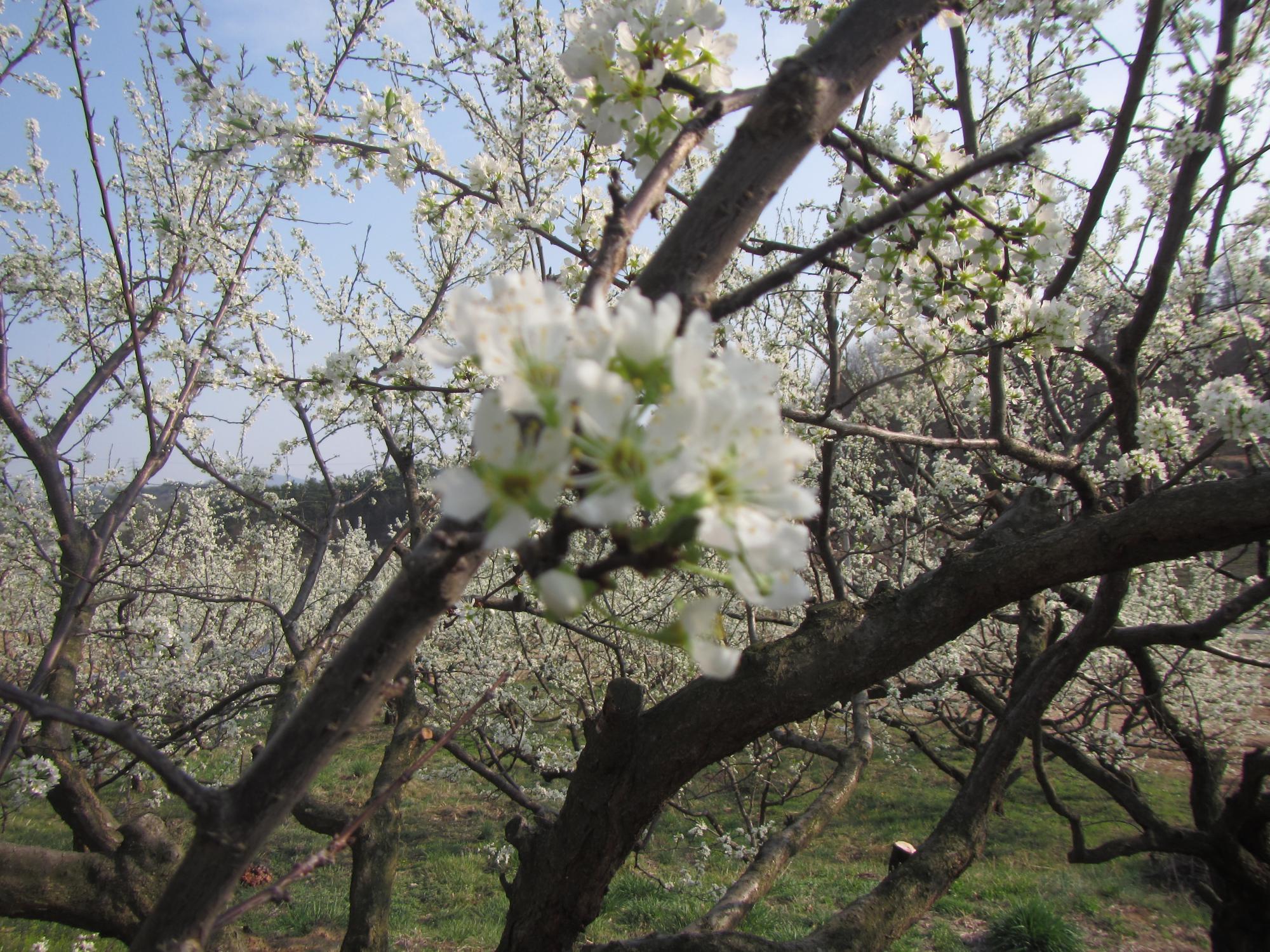 포도덩굴농원의 자두밭